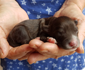 Newborn Cobberdog puppy being held