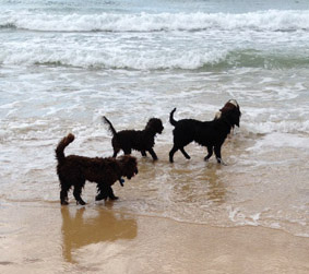 Cobberdogs at the beach