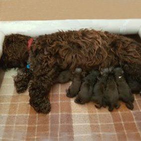 Zali and her RidgyDidge Cobberdog Puppies 2017