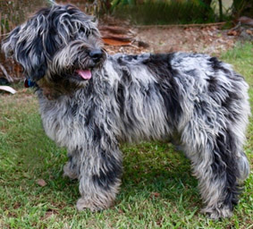 Purebreed Cobberdog with blue merle non-shedding fleece coat