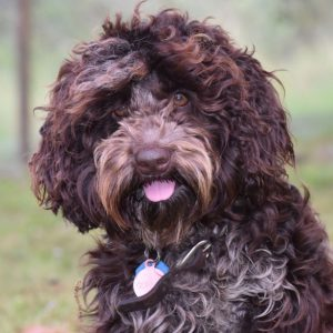 Australian Cobberdog breeding dog