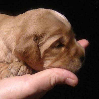 Ridgy Didge golden Cobberdog puppy
