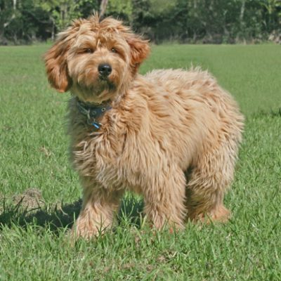 Ridgy Didge Cobberdog Breeding