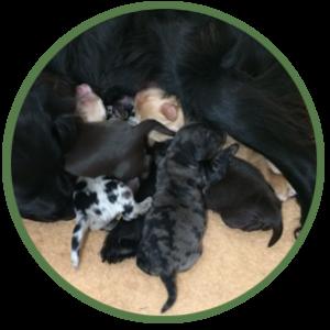 newborn Cobberdog pups