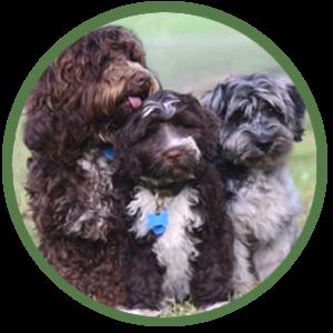 three different cobberdog types