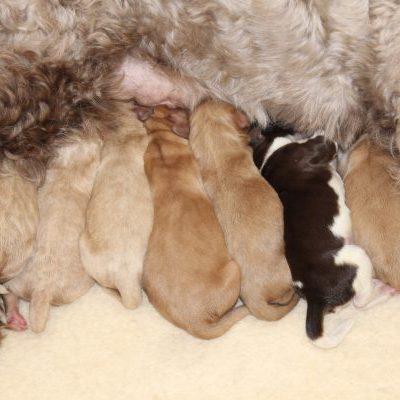 Cobberdog puppies