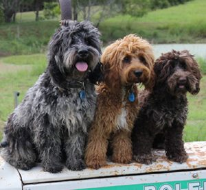 Ridgy Didge Cobberdogs come in three size categories