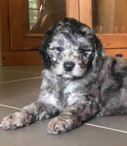 Cobberdog pup