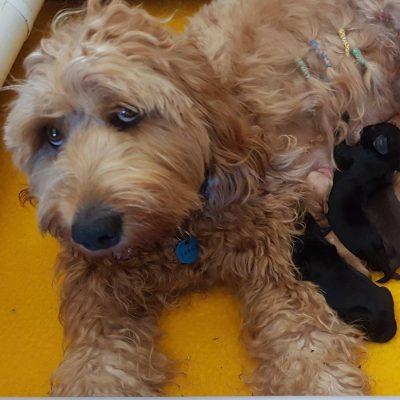 Cobberdog pups
