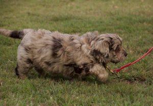 Ridgy Didge merle Cobberdog puppy