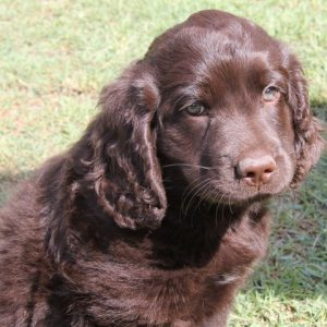 cobberdog brown smooth coat pup