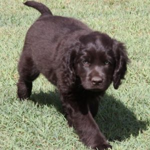 cobberdog chocolate smooth coat pup