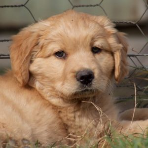 cobberdog golden smooth coat pup