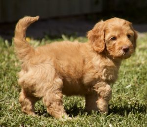 Cobberdog puppy