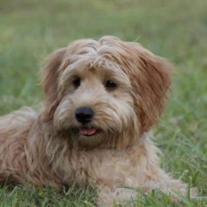 Blonde cobberdog